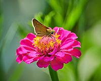 Skipper? butterfly feeding on a Zinnia flower. Image taken with a Nikon D850 camera and 300 mm f/2.8 VR lens + 2.0 TC-EIII teleconverter