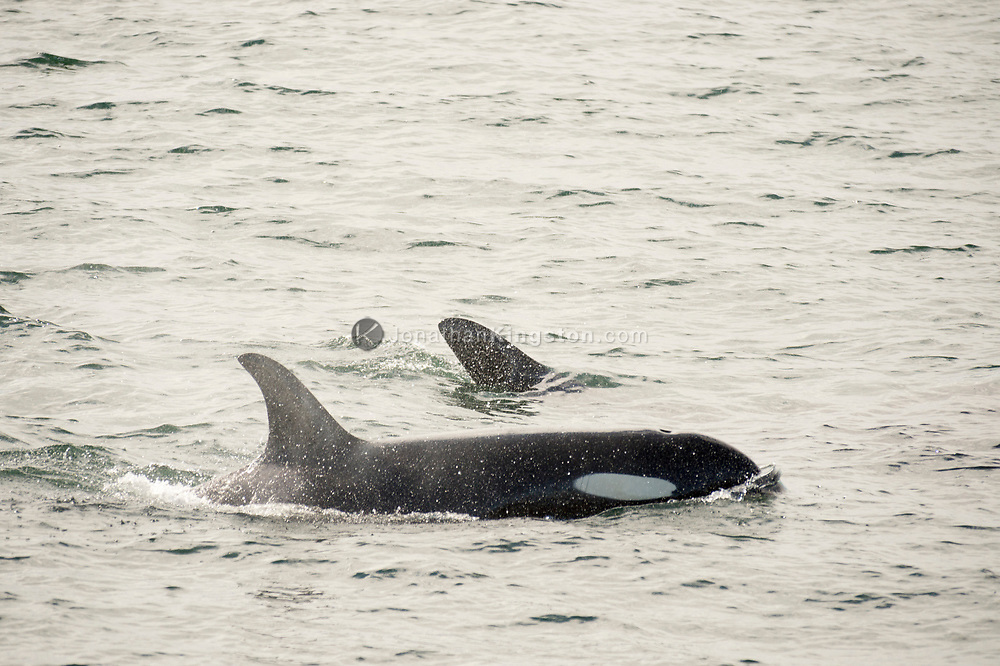 Two killer whales (Orcinus orca) swim in the waters of south east Alaska's inside passage.