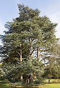 Blue Atlas cedar tree, cedrus atlantica, National arboretum, Westonbirt arboretum, Gloucestershire, England, UK