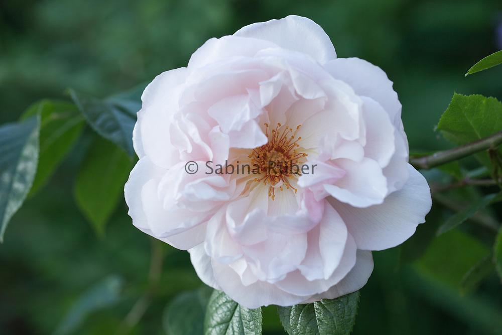 Rosa 'The Generous Gardener' - English rose by David Austen - climbing rose