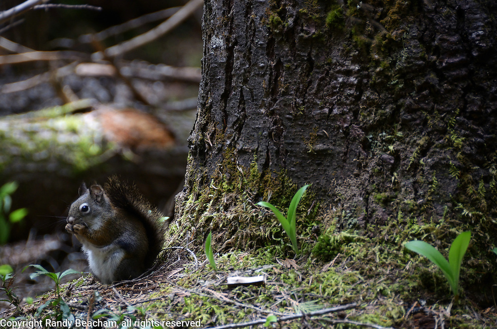 Red Squirrel in the Ross Creek Cedars Research Natural Area. Cabinet Mountains in the Kootenai National Forest, northwest Montana.