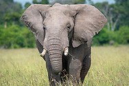 A frontal view of an African bush elephant (Loxodonta africana), aka African savanna elephant in Maasai Mara National Reserve , Kenya