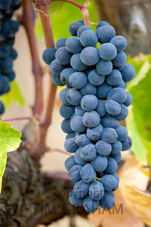 Ripe Brunello grapes, Sangiovese, growing on vine at the wine estate of La Fornace at Montalcino in Val D'Orcia, Tuscany, Italy