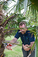Tony Kirkham using secateurs to remove dead foliage from a Trachycarpus fortunei (Chinese windmill palm, windmill palm or Chusan palm) at RBG Kew