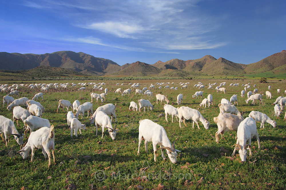 Herd of white goats in the Spanish countryside.