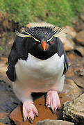 Rockhopper looks into camera while standing in a stream of water.