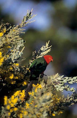 Australian King Parrot, (Alisterus scapularis) Male. Eastern Australia.