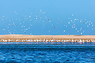 Flamingos (Phoenicopterus roseus) at Lagoon Khenifiss (Lac Naila), Atlantic coast, Morocco.