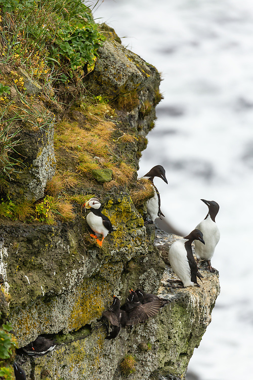 Thick-billed Murres (Uria lomvia), Parakeet Auklets (Aethia Psittacula), and Horned Puffin (Fratecula corniculata) perched on cliff overlooking Bering Sea on coast of St. Paul Island in Southwest Alaska. Summer. Afternoon.
