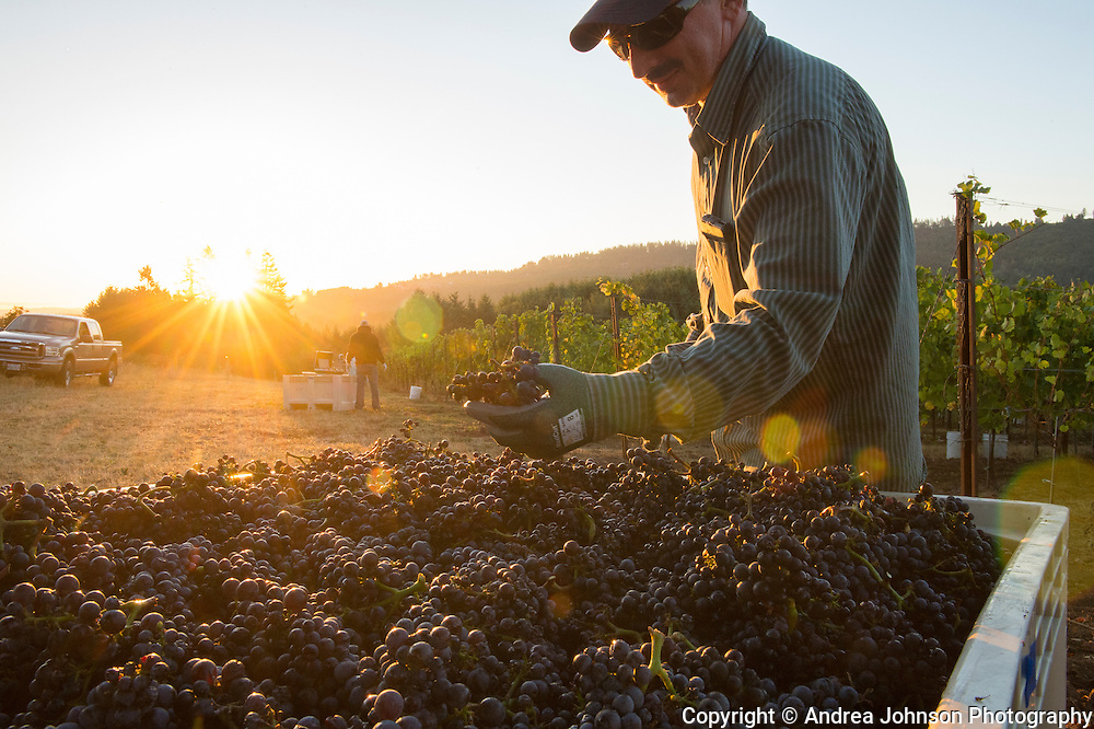 Pinot Noir harvest at Anne Amie's 12 Oaks vineyard, Chehalem AVA, Willamette Valley, Oregon