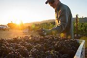 Pinot Noir harvest at Anne Amie's 12 Oaks vineyard, Chehalem AVA, Willamette Valley, Oregon