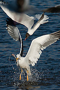 The Lesser Black-backed Gulls are omnivores like most Larus gulls, and they will eat fish, insects, crustaceans, worms, starfish, molluscs, seeds, berries, small mammals, eggs, small birds, chicks, scraps, offal and carrion..www.gyda.is