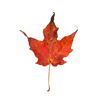 Red Maple leaf on white background, fall foliage, Bar Harbor, Maine