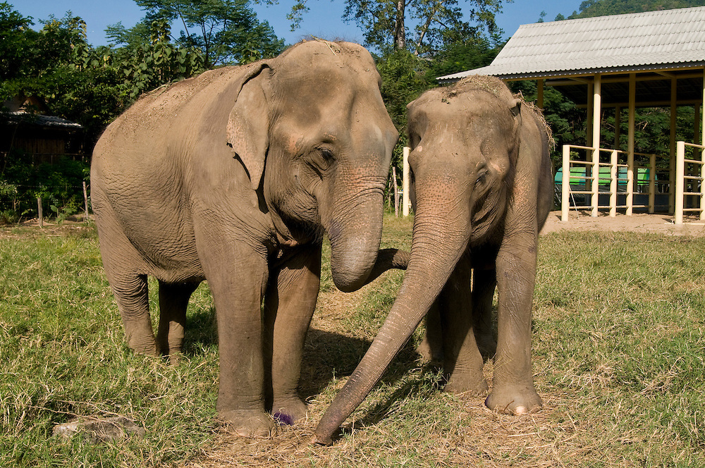 "Best friends Mae Perm and Jokia comfort each other at the Elephant Nature Park near Chiang Mai, Thailand.  Jokia, age 50, was blinded in both eyes from an abusive owner, but her best friend Mae Perm, age 89, acts as her eyes leading her around the park.  Jokia gently walks up to volunteer, Dianna Silva from Portugal, who begins petting her trunk.  Silva says, ""It's a wonderful story how Mae Perm adopted Jokia when she had no friends.  It is my second time coming here.  For me Thailand is the best country.""..Sangduen ""Lek"" Chailert founded the park as a sanctuary and rescue centre for elephants.  The park currently has 32 elephants sponsored and supported by volunteers from all over the world."