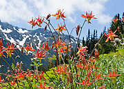 Columbine flowers (genus Aquilegia in the Buttercup family, Ranunculaceae) glow bright orange and yellow beneath massive gray peaks on Big Quilcene Trail #833.1 near Marmot Pass, in Buckhorn Wilderness, Olympic National Forest, Washington, USA.