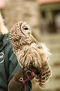 Barred owl being handled by a scientist.