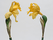 Two daffodils facing each other.