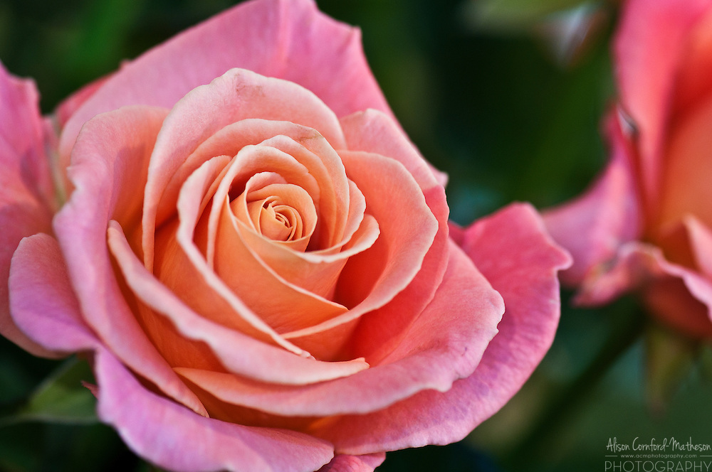 Rose, Rosa 'Miss Piggy'