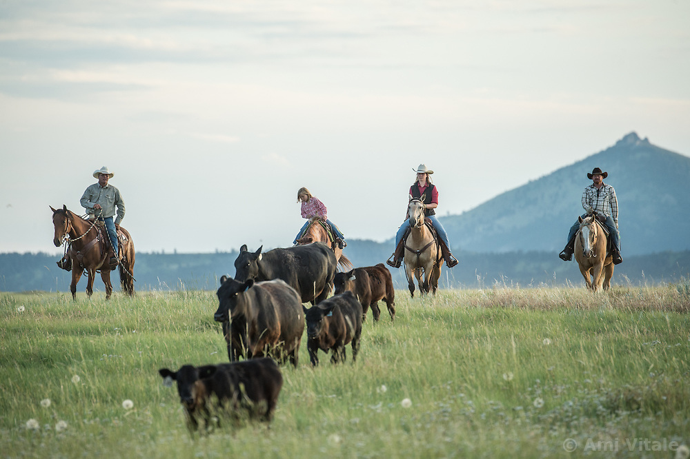 The Nature Conservancy's Matador Ranch Operations Manager Charlie Messerly. his daughter Layla, 5, researcher Marisa Lipsey and TNC employee Jason Hanlon gather cows  as they collaborate with 13 ranching families in Eastern Montana  at the Matador ranch &quot;grass bank&quot;. The &ldquo;grass bank&quot; is an innovative way to leverage conservation gains, in which ranchers can graze their cattle at discounted rates on Conservancy land in exchange for improving conservation practices on their own &ldquo;home&rdquo; ranches. In 2002, the <br /> Conservancy began leasing parts of the ranch to neighboring ranchers who were suffering from  severe drought, offering the Matador&rsquo;s grass to neighboring ranches in exchange for their  participation in conservation efforts. The grassbank has helped keep ranchers from plowing up native grassland to farm it; helped remove obstacles to pronghorn antelope migration; improved habitat for the Greater Sage-Grouse and reduced the risk of Sage-Grouse colliding with fences; preserved prairie dog towns and prevented the spread of noxious weeds. (Photo By Ami Vitale)