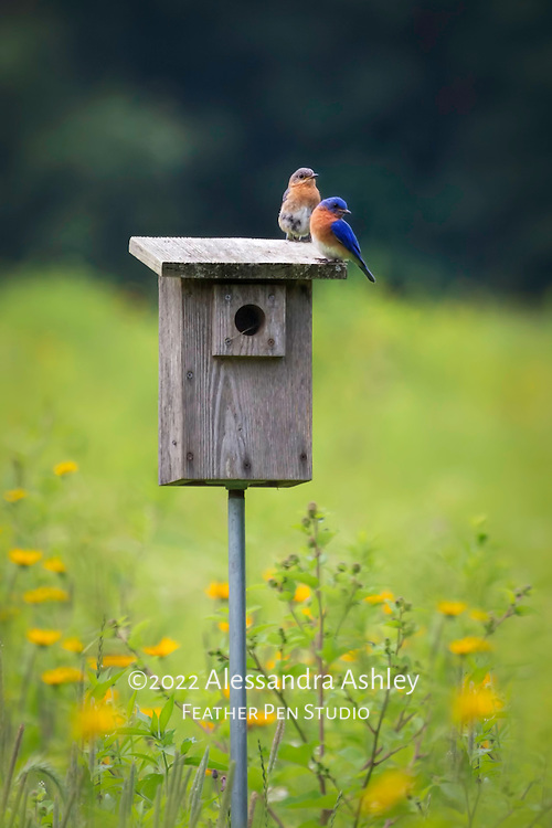 Paie of eastern bluebirds perched atop nesting box in tallgrass prairie setting. Painted effects blended with original photograph.