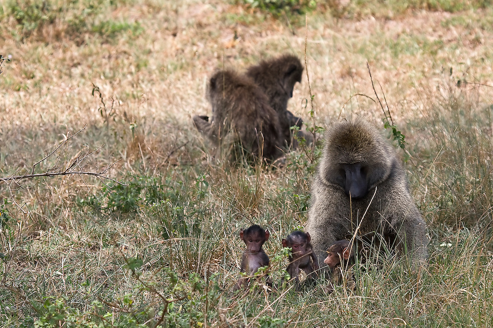 (Papio anubis) A young adult male baboon gets assigned babysitting duty, and watches over three newborns. Baboons are very social and will take turns caring for the young even though they may not be related. Serengeti National Park, Tanzania