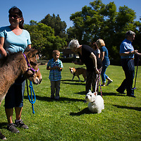 A variety of animals showed up to participate in the 4th annual Blessing of the Animals at Messiah Lutheran Church in Yorba Linda on Sunday, October  8, 2017. (Photo by Foster Snell, Contributing Photographer)