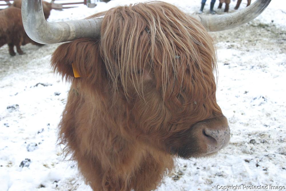 Skotsk høylandsfe (kua Otta), økologisk kjøttproduksjon, hos Terje Løkås i Selbu.