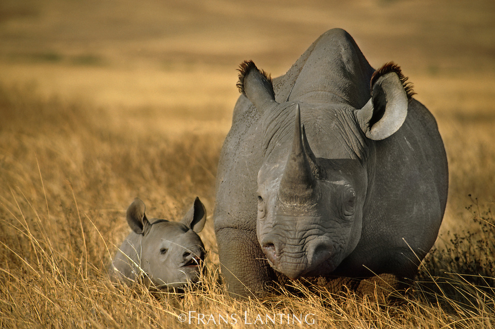 Black rhinoceros with young, Diceros bicornis, Ngorongoro Conservation Area, Tanzania