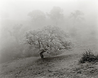 BW01926-00...CALIFORNIA - Oak trees in the fog on Figueroa Mountain , Los Padres National Forest.