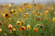 Namaqualand flowers, Clanwilliam, Northern Cape, South Africa..Pictures Zute & Demelza Lightfoot