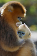 Golden snub-nosed Monkey (Rhinopitecus roxellana ssp. qinligensis), female holding infant, close-up. Zhouzhi Nature Reserve, Qinling Mountains, Shaanxi, China.