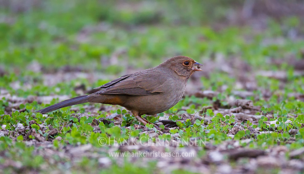 A california towhee forages for food on the ground