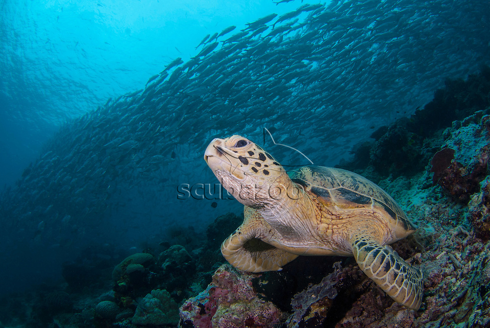 A Green Turtle, Chelonia Mydas, resting on the reef with a school of Big-Eye Trevally, Caranx sexfasciatus, swimming above in the background, Sipadan Island, Sabah, Malaysia.