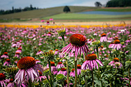 A field of echinacea or conflower blossoms at a flower farm in Silverton, Oregon. Colorful bands of other flowers and rolling hills are seen in the distance.