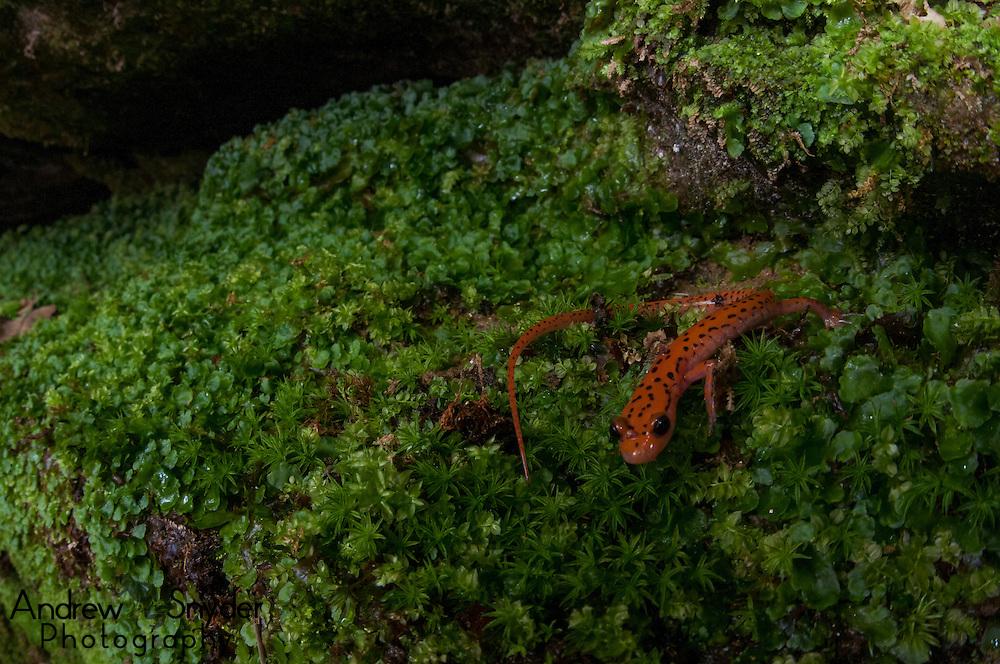 A cave salamander (Eurycea lucifuga) in habitat - Tishomingo, Mississippi