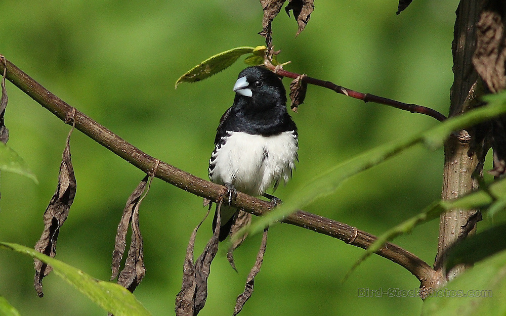 Black-and-white Mannikin, Lonchura bicolor, Ethiopia, by Markus Lilje