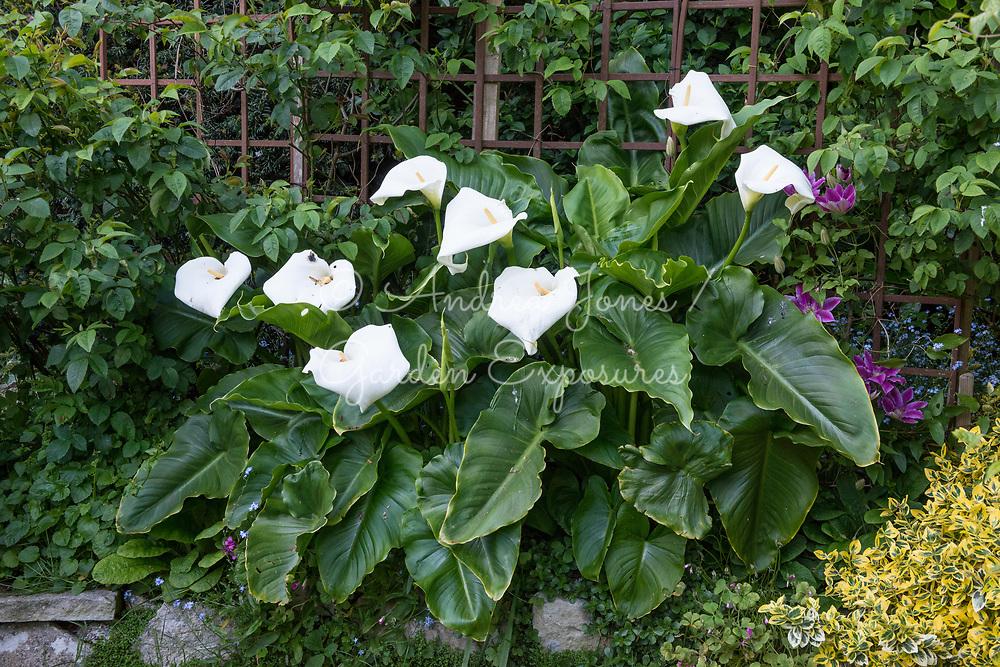 Zantedeschia aethiopica (arum lily, calla lily)
