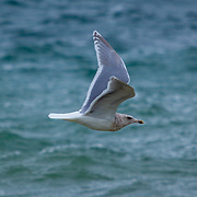 Seagull in flight over Puget Sound - Browns Point, Washington