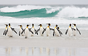 Emperor Penguins in the Surf