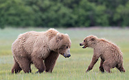 Alaska Brown Bears Katmai NP