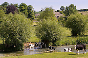 Friesian cows by River Windrush, Swinbrook, The Cotswolds, England, United Kingdom
