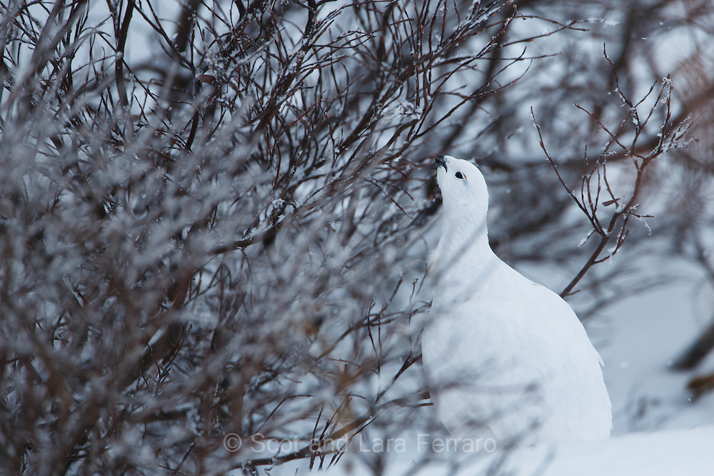 A ptarmigan feeds on the willows.