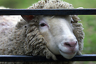 Dolly, the world's first cloned sheep, at the Roslin Institute near Edinburgh where she was developed and created. Dolly was a female domestic sheep, and the first mammal cloned from an adult somatic cell, using the process of nuclear transfer.The photographs taken by Colin McPherson this day were the last before Dolly was euthanised  on 14 February 2003 because she had a progressive lung disease and severe arthritis.