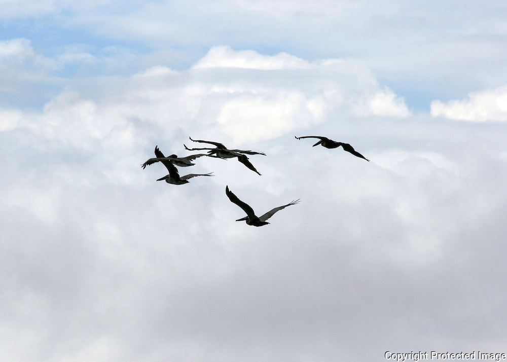A squadron of gray pelicans silhouetted against a tropical sky.