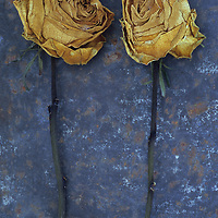 Two squashed dried roses once cream and now brown lying with their stems on rusty metal sheet
