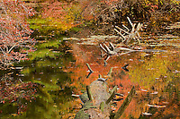 Fall views at Walden Pond.  An Eastern Painted Turtle (Chrysemys picta) basks on a fallen tree at Wyman Meadow.