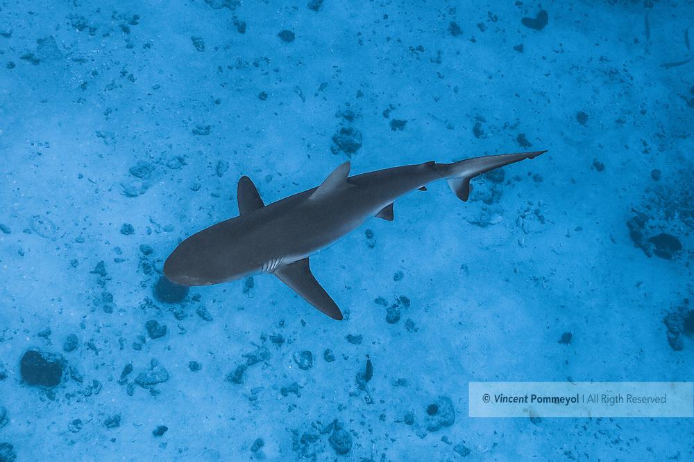Grey reef shark-Requin gris (Carcharhinus amblyrhynchos) French Polynesia.