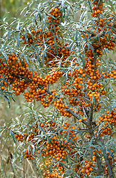 Hippophae rhamnoides in fruit<br /> Sea Buckthorn