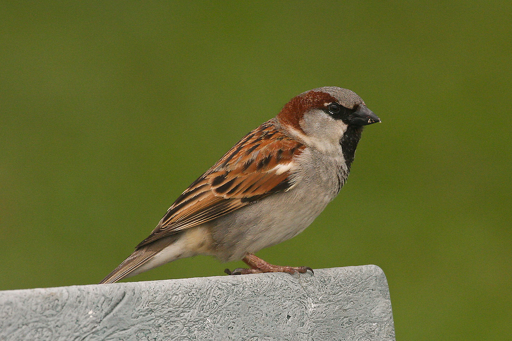 House Sparrow photo Hawaii