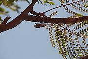 Varzea da Palma_MG, Brasil...Cigarra no galho de uma arvore em Varzea da Palma, Minas Gerais...Cicada on branch tree in Varzea da Palma, Minas Gerais...Foto: LEO DRUMOND / NITRO